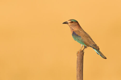 An Indian roller poses on a perch as it hunts for locusts in the surrounding grassland. Tal Chhapar, Rajasthan, India.