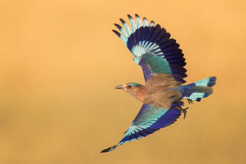 Indian Roller Take Off. An Indian roller takes flight in the grasslands of Tal Chhapar, Rajasthan, India.