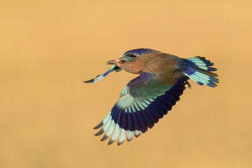 An Indian roller photographed mid flight hunting for locusts in the grasslands of Tal Chhapar, Rajasthan, India.