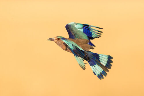 Indian Roller in flight. An Indian roller photographed mid flight hunting for locusts in the grasslands of Tal Chhapar, Rajasthan, India.
