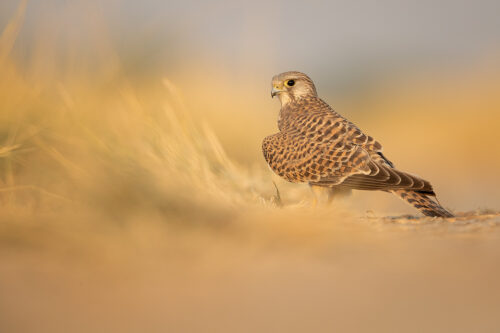Portrait of Common Kestrel in warm early morning light in the grasslands of Tal Chhapar, Rajasthan, India.