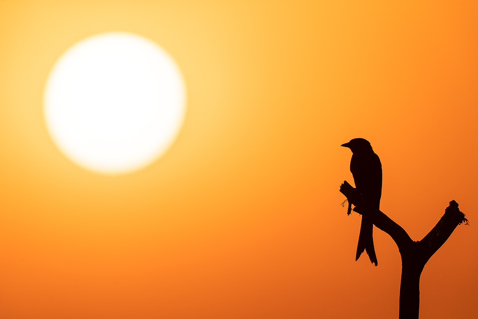 Silhouette of a Black drongo perched on a weathered post in front of the setting sun. Tal Chhapar, Rajasthan, India.