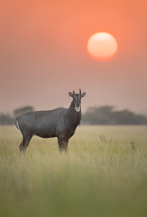 Blue Bull (Indian Antelope) in front of the setting sun. Photographed in the golden grasslands of Tal Chhapar, Rajasthan, India.