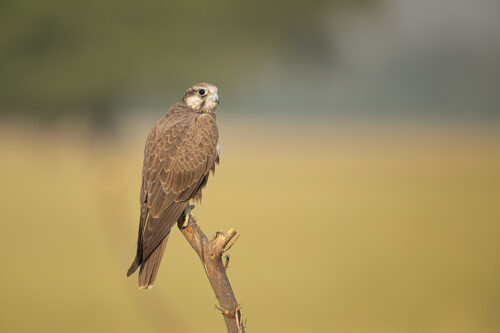 Juvenile Laggar Falcon perched on a weathered post in the grasslands of Tal Chhapar, Rajasthan, India.