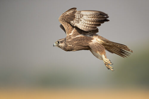 Laggar Falcon in Flight over the pristine grasslands of Tal Chhapar, Rajasthan, India.