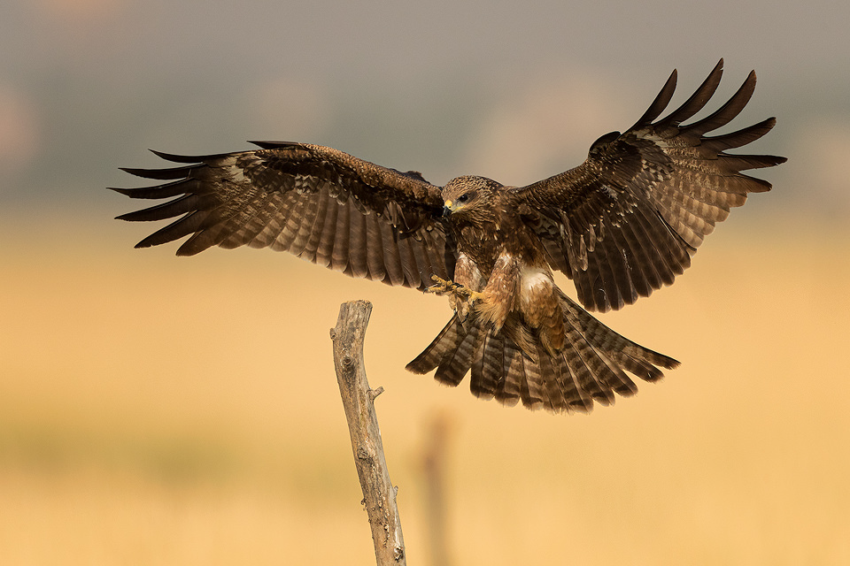 Black Kite coming in to land on a weathered post in the grasslands of Tal Chhappar, Rajasthan, India.