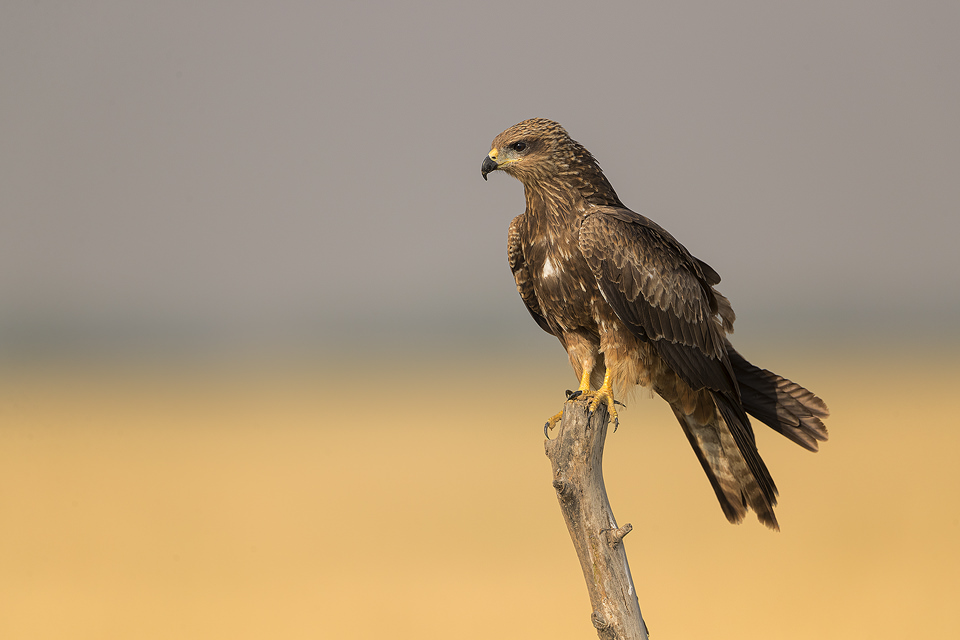 Black Kite perched on a weathered post in the grasslands of Tal Chhappar, Rajasthan, India.