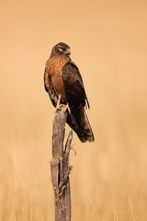 Juvenile Montagu's harrier perched on a weathered post in the grasslands of Tal Chhapar, Rajasthan, India.