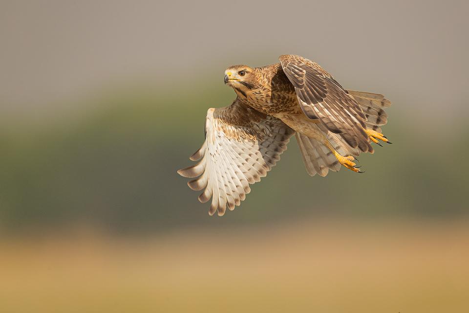 Juvenile White-eyed Buzzard in flight