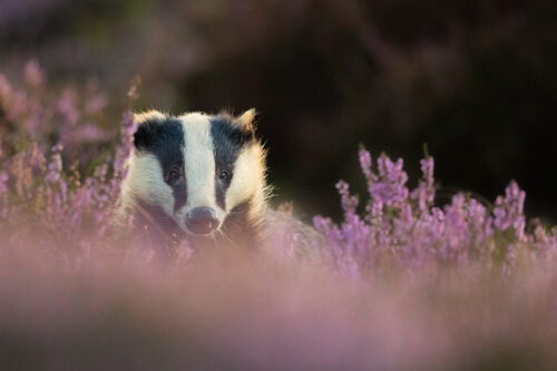 Adult badger in flowering purple heather at sunset. Derbyshire, Peak District National Park.