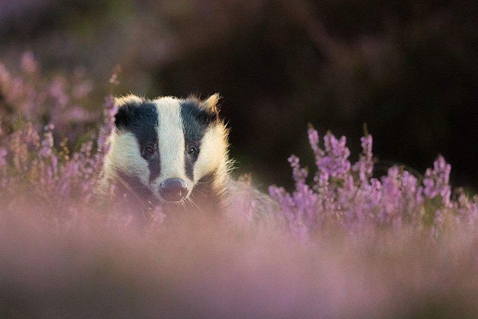 Adult badger in flowering purple heather at sunset. Derbyshire, Peak District National Park.