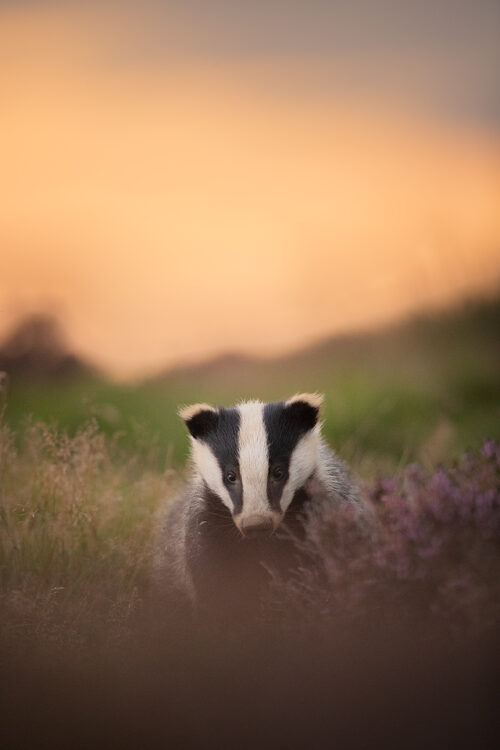 Sunset Badger Cub. A Badger cub poses next to a patch of flowering purple heather at sunset. Derbyshire, Peak District National Park.