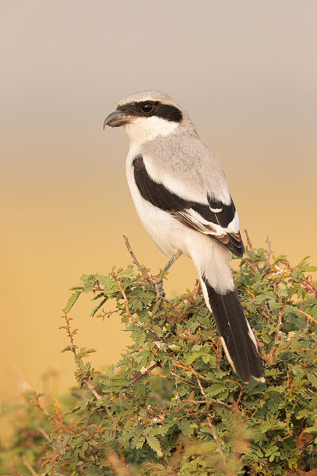 Great grey shrike perched on a thorny bush in the grasslands of Tal Chhapar, Rajasthan, India.