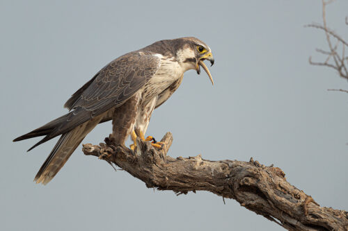Laggar Falcon with Kill. Laggar falcon swallowing the tail of a spiny tailed lizard. Chhapar, Rajasthan, India.