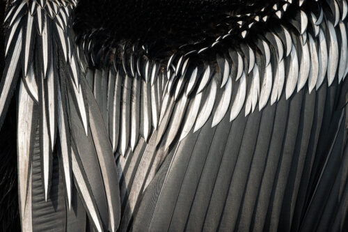 Indian Darter feathers. Close up image of an adult oriental darters feathers taken whilst the bird was drying its feathers after fishing. Bharatpur Bird sanctuary (Keoladeo National Park) Rajasthan, India.