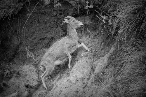 Nilgiri Tahr climbing an exposed mountain cliff face, Anamudi Peak, Eravikulam National Park, India. Anamudi is the the highest peak in south India, standing at a height of 2695m.