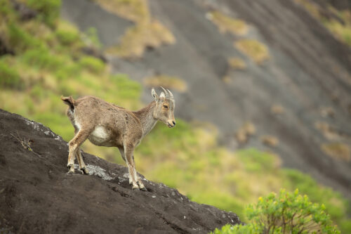 Nilgiri Tahr standing on an exposed rock face, Anamudi Peak, Eravikulam National Park, India. Anamudi is the the highest peak in south India, standing at a height of 2695m.