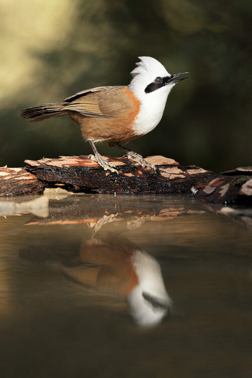 White-crested Laughingthrush reflected in a mountain pool of water. Himalayan foothills, Nainital, Uttrakhand, India.