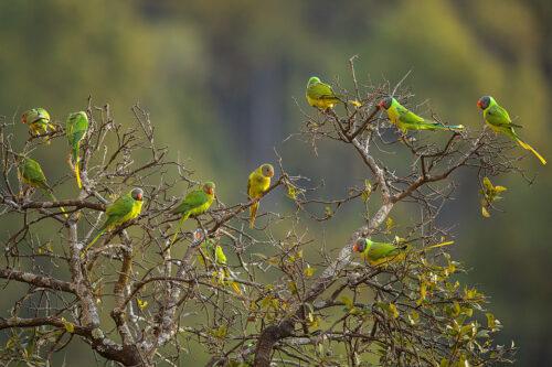 A large group of Slaty-headed Parakeets at the top of a tree. Himalayan foothills, Nainital, Uttarakhand, India.