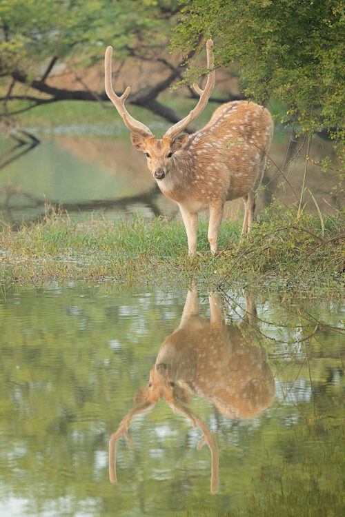 Spotted deer stag reflected in the wetlands of Bharatpur Bird sanctuary (Keoladeo National Park) Rajasthan, India.
