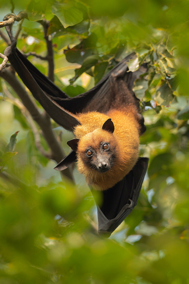 Indian Flying Fox (Pteropus medius) roosting during the day time in a large communal roost. Bharatpur Bird sanctuary (Keoladeo National Park) Rajasthan, India.