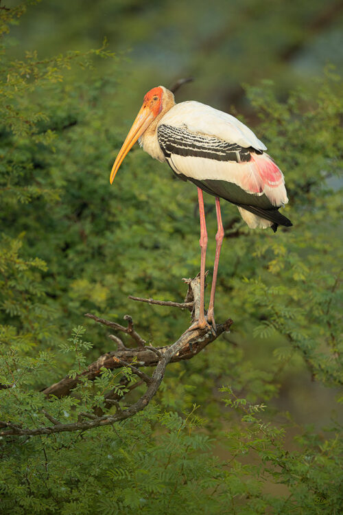 Adult Painted Stork in nesting tree. Bharatpur Bird sanctuary (Keoladeo National Park) Rajasthan, India.These tall wading birds are impressive in flight and can often be seen gliding high on the thermals.