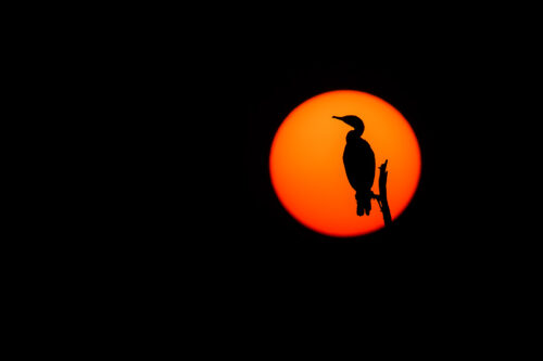 Indian Cormorant silhouetted against the setting sun. Bharatpur Bird sanctuary (Keoladeo National Park) Rajasthan, India.