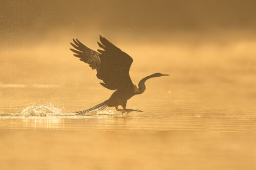 Oriental Darter taking off at sunrise with golden sunshine illuminating the morning mist drifting over the water. Bharatpur Bird sanctuary (Keoladeo National Park) Rajasthan, India.