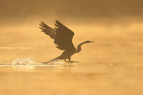 Oriental Darter taking off at sunrise with golden sunshine illuminating the morning mist drifting over the water. Bharatpur Bird sanctuary (Keoladeo National Park) Rajasthan, India.