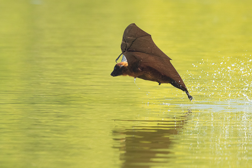 Indian Flying Fox (Pteropus medius) drinking water from a lake next to the communal roost. Bharatpur Bird sanctuary (Keoladeo National Park) Rajasthan, India.