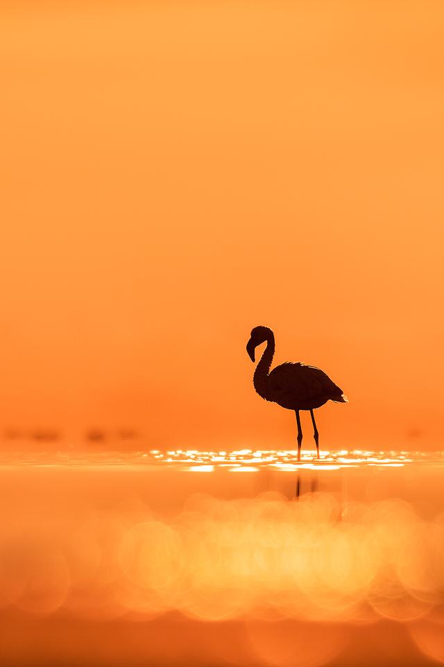 Lesser Flamingo Sunrise. Lesser flamingo silhouetted against a vibrant early morning sky, Little Rann of Kutchh, Gujarat, India.
