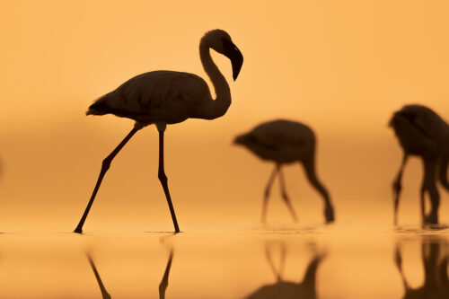 Lesser Flamingo Silhouette. Lesser flamingos silhouetted against a golden early morning sky. Little Rann of Kutchh, Gujarat, India.