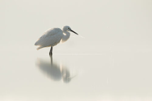 Little Egret reflected in a shallow desert pool shaking water off its beak. Little Rann of Kutchh, Gujarat, India.
