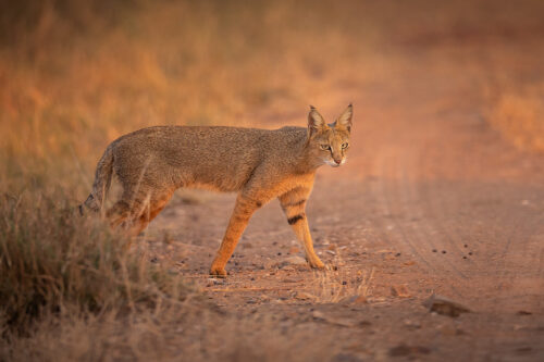Jungle cat crosses the dusty track in beautiful evening light. Velavadar National Park, Gujarat, India.