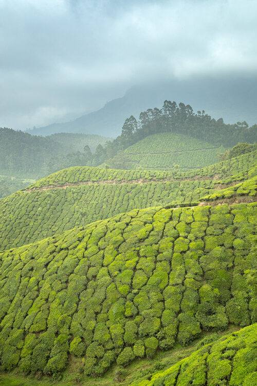 Fresh green tea hills of Munnar under a moody grey sky. Western Ghats, Kerala, South India. Western Ghats, Kerala, South India. Munnar, a mountainous region in the Western Ghats of Kerala is famous for having some of the most elevated tea plantations in the world.