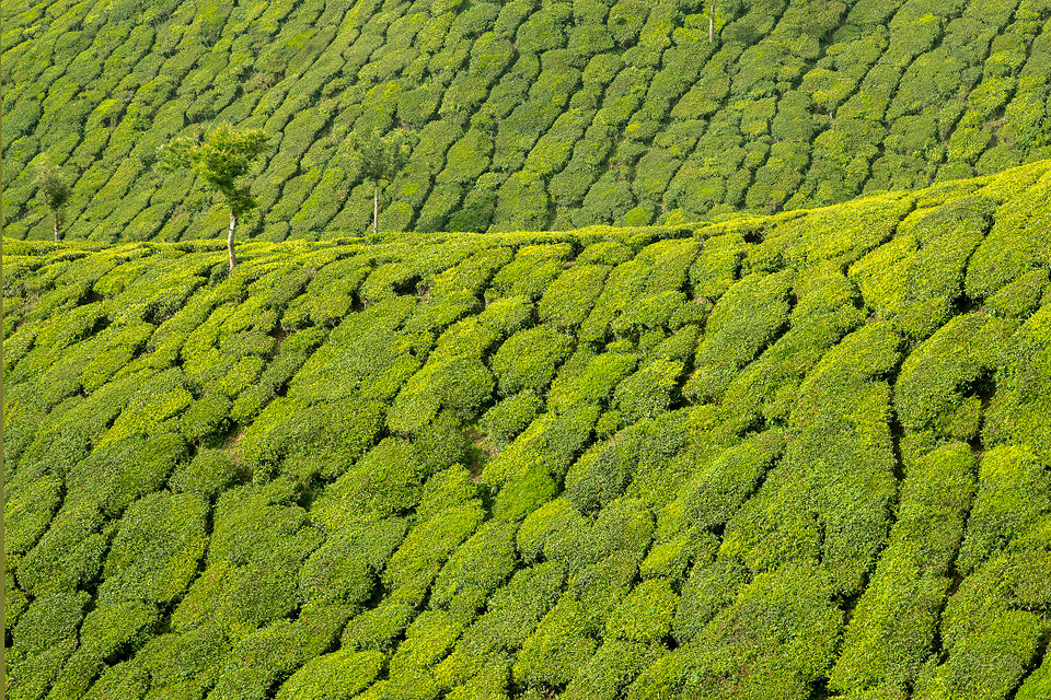 Fresh green tea Hills of Munnar. Western Ghats, Kerala, South India. Munnar, a mountainous region in the Western Ghats of Kerala is famous for having some of the most elevated tea plantations in the world.