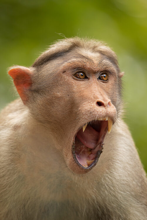 Yawning Bonnet Macaque, Western Ghats, Kerala, India.