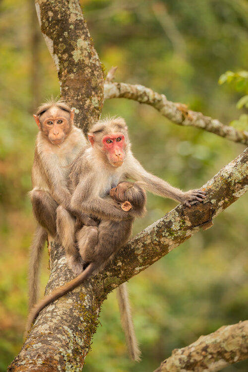 Bonnet Macaque Family. Bonnet macaques resting in treetops with the baby feeding on mothers milk. Western Ghats, Kerala, India.