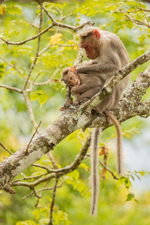 Bonnet Macaques Grooming. Mother grooming her baby in the treetops. Western Ghats, Kerala, India.