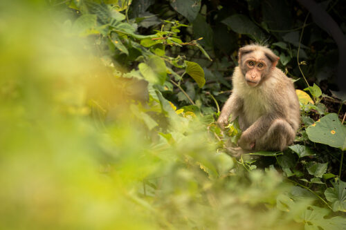Bonnet macaque feeding on leaves and shoots in dense jungle. Western Ghats, Kerala, India.