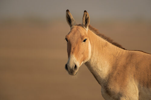 Close up portrait of an Indian wild ass stallion on the dry dusty plains of the Rann. Little Rann of Kutch, Gujarat, India.