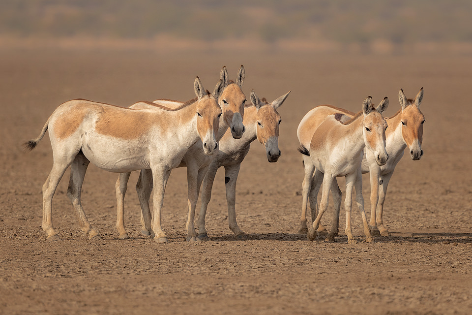 Indian Wild Ass Group. A group of wild ass stares curiously at the camera. Little Rann of Kutch, Gujarat, India.