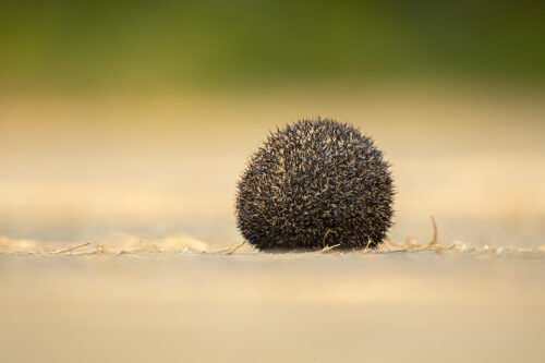 Defensive Indian long-eared hedgehog. Little Rann of Kutch, Gujarat, India. LRK is a unique habitat comprising of saline desert, thorny scrub, arid grasslands and wetlands.
