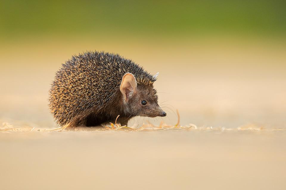 Indian long-eared hedgehog portrait. Little Rann of Kutch, Gujarat, India. The Little Rann of Kutch (LRK) is a unique habitat comprising of saline desert plains, thorny scrubland, arid grasslands, wetlands and marshes.