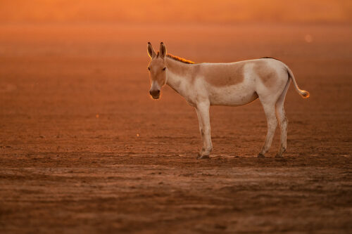 Backlit Indian onager. Indian wild ass stallion backlit at sunset on the dry dusty plains of the Rann. Little Rann of Kutch, Gujarat, India.