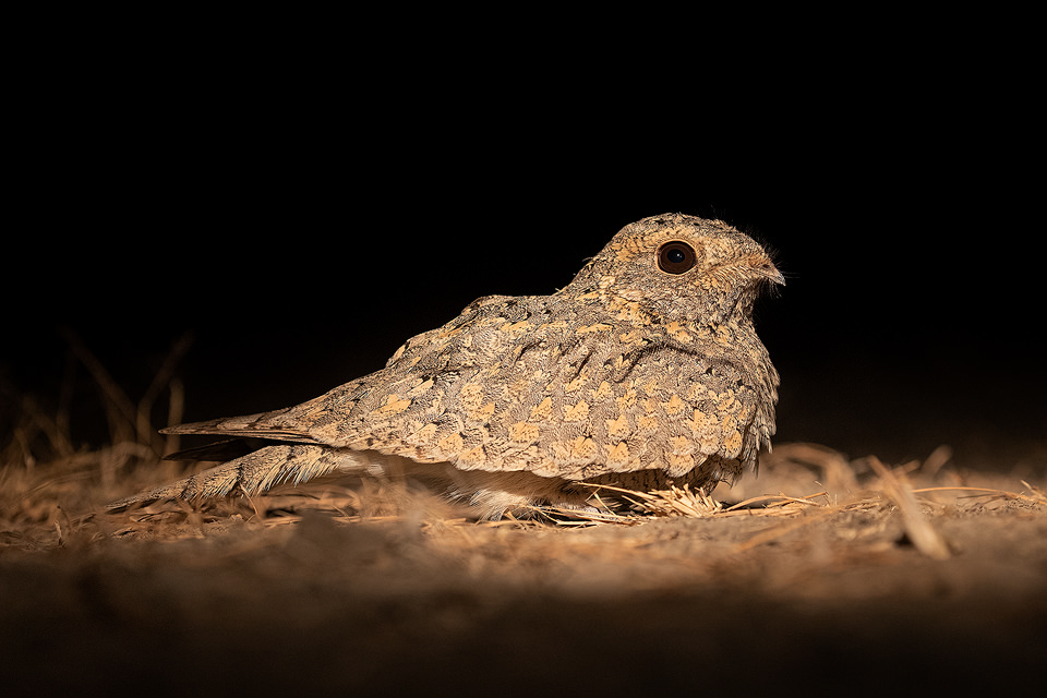 European Nightjar in desert scrubland. Little Rann of Kutchh, Gujarat, India.