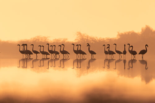 A flock of Lesser flamingos silhouetted against a golden early morning sky, Little Rann of Kutchh, Gujarat, India. The Little Rann of Kutch (LRK) is one of the largest breeding grounds for Lesser Flamingos in India. LRK is a unique habitat comprising of saline desert plains, thorny scrubland, arid grasslands, wetlands and marshes.