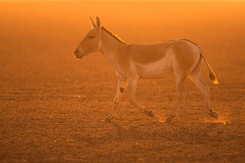 Male Indian wild ass running across the Desert Rann backlit by golden sunset light. Little Rann of Kutch, Gujarat, India.