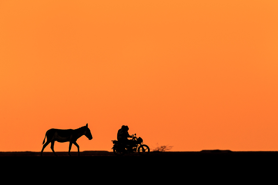 Indian Wild Ass Silhouette. A lone wild ass stallion silhouetted against the skyline as a bike passes by in the background. Little Rann of Kutch, Gujarat, India.