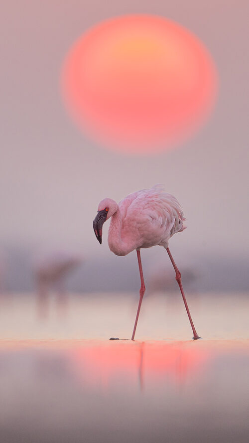Lesser Flamingo Sunrise. Bright Pink Lesser Flamingo standing in front of the rising sun. Little Rann of Kutch, Gujarat, India.